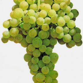 Racimo de uva tempranillo blanco