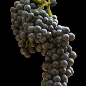 Racimo de uva cabernet sauvignon