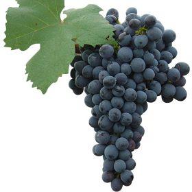 Racimo uva Graciano