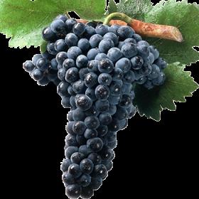 Racimo de uva de la variedad tinto fino