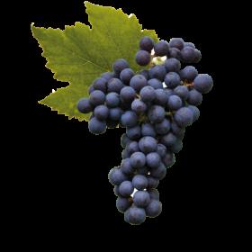 Racimo de uvas de cabernet franc