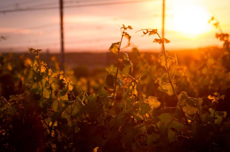 Visión de puesta de sol en viñedos del Regajal